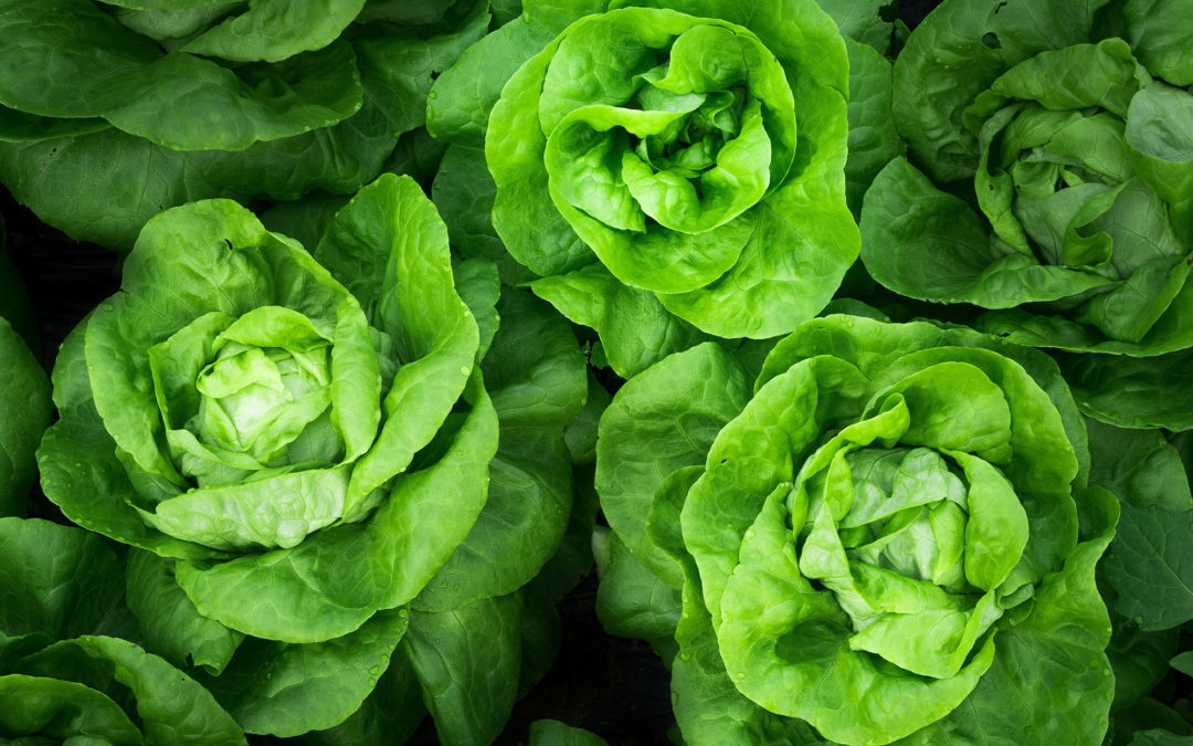 Lettuce In The Limelight